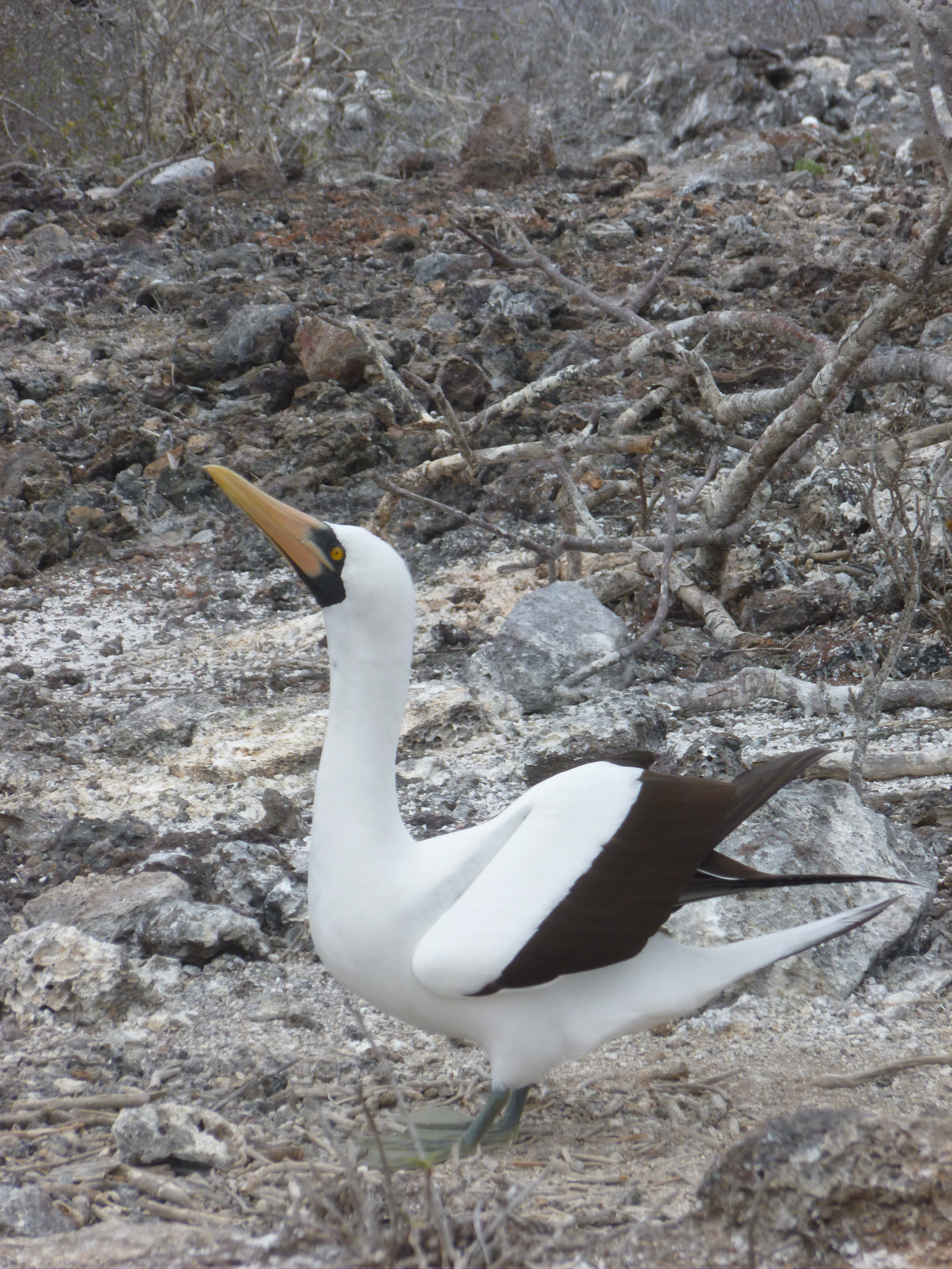 Incredible Galapagos II